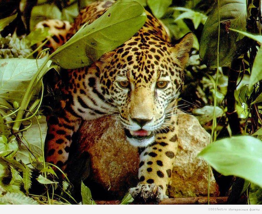 хищники в тропиках