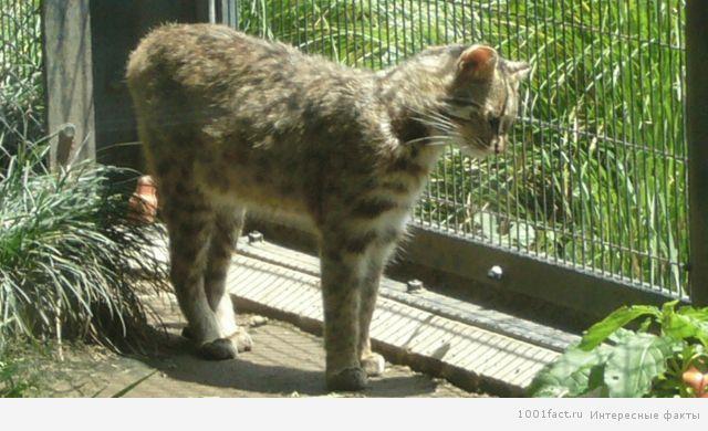особенность Ириомотейской кошки