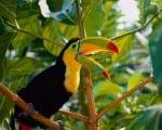 необычная птица тукан