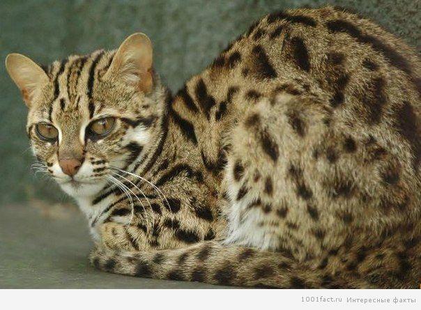 факты_Ириомотейская кошка