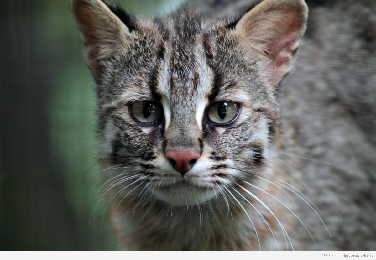 про Ириомотейскую кошку