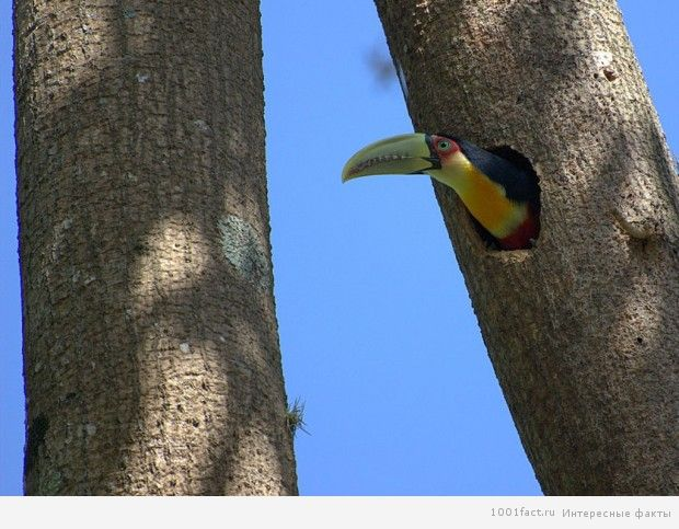 о птице тукан