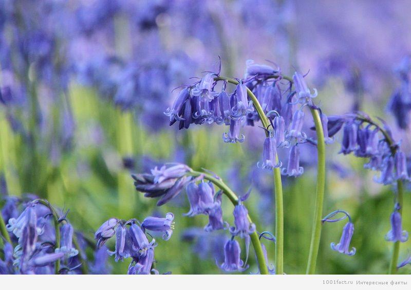 синие-колокольчики