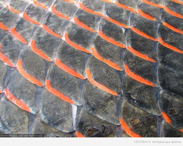 чешуя рыбы