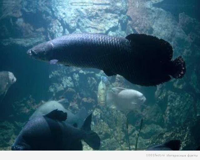 под водой_пираруку
