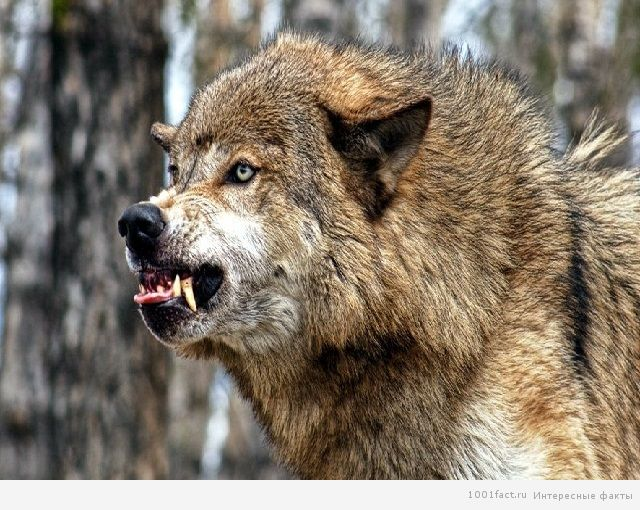агрессия волка