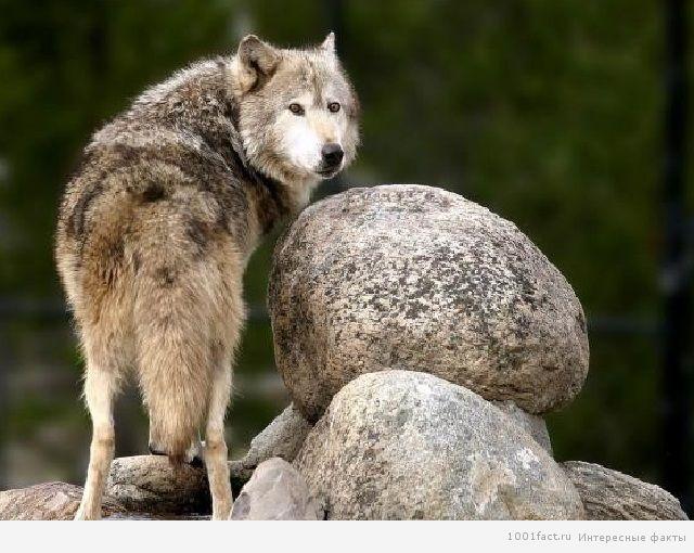 про волков