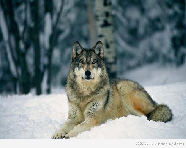 волк на снегу
