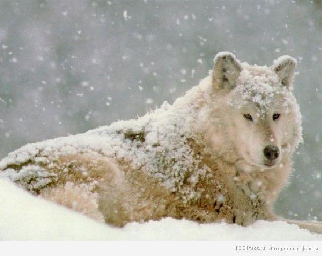 снег и волк