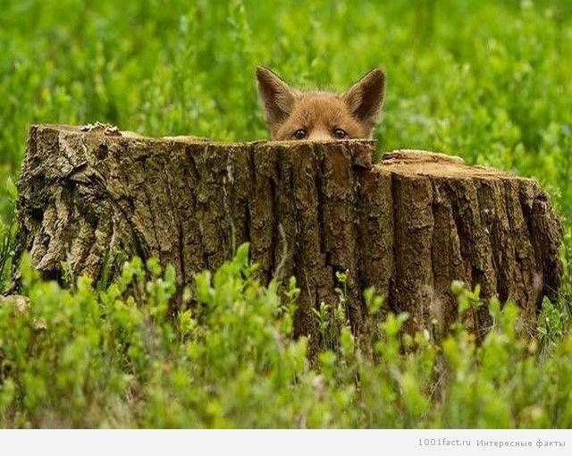 лиса прячется