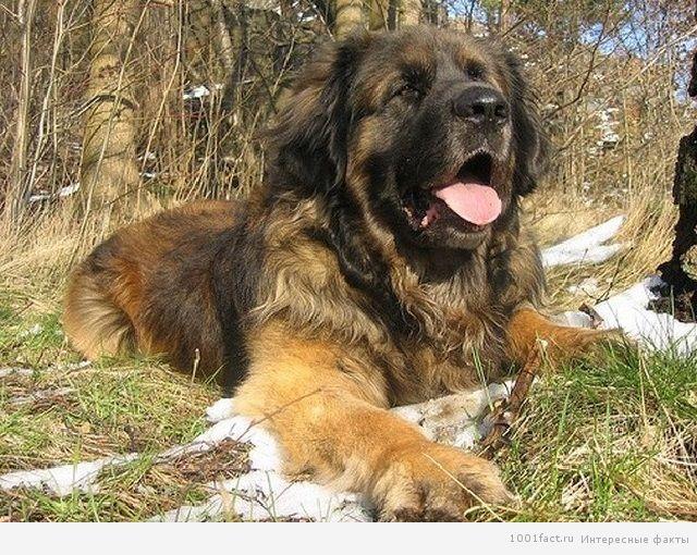 леонбергер_собака