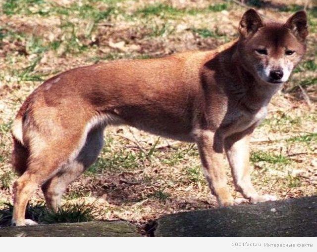 независимая собака