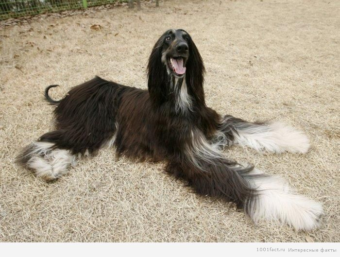 собака клон