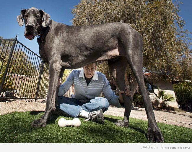 крупный пес