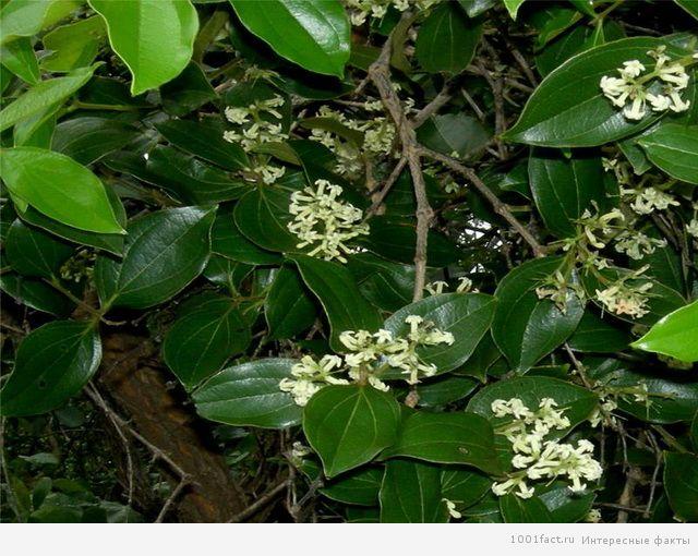 растение манцинелла
