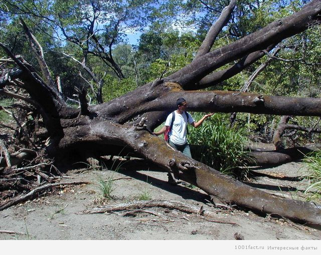 опасное дерево