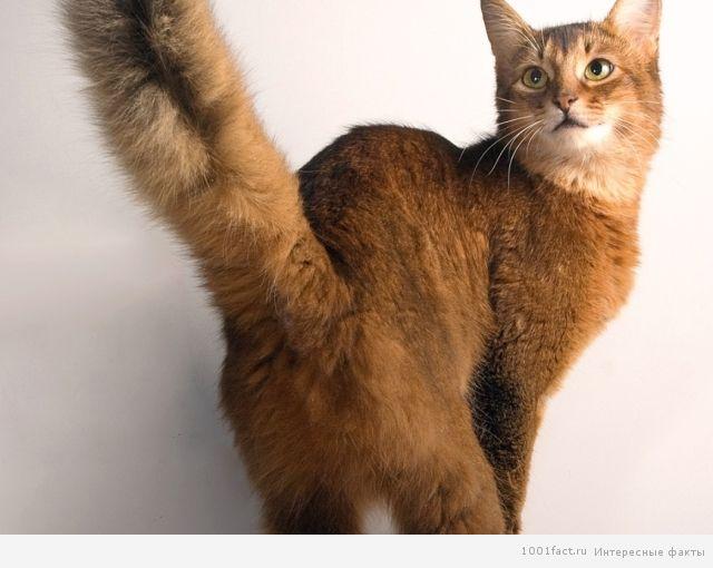 кошка машет хвостом